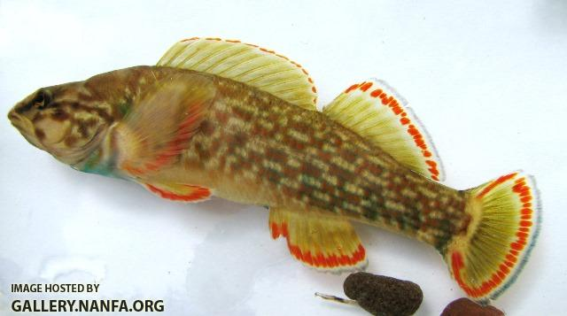 Etheostoma rufilineatum male4 by BZ