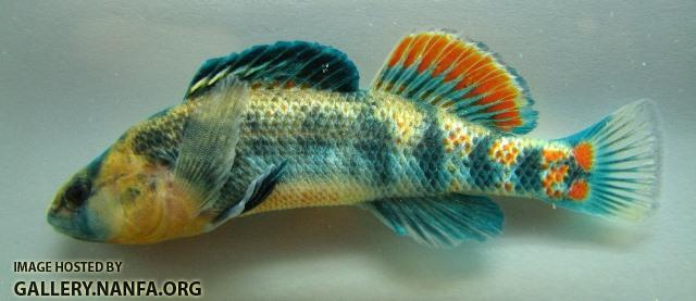 Etheostoma spectabile male3 by BZ