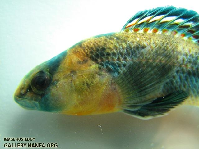 Etheostoma spectabile male5 by BZ