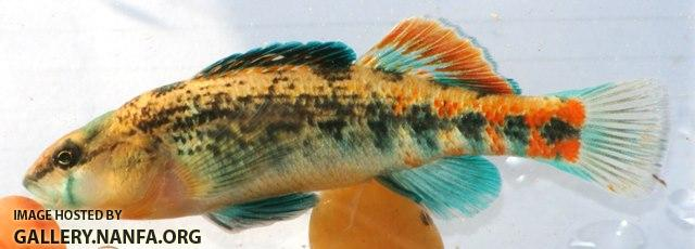 Etheostoma spectabile male7 by JZ