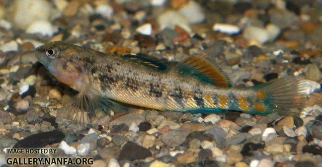 Etheostoma spectabile male8 by BZ