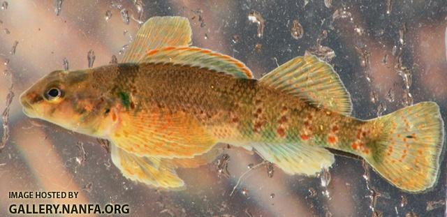 Etheostoma variatum female2 by BZ