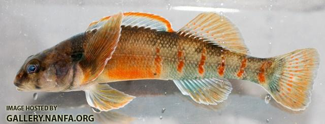 Etheostoma variatum male3 By BZ