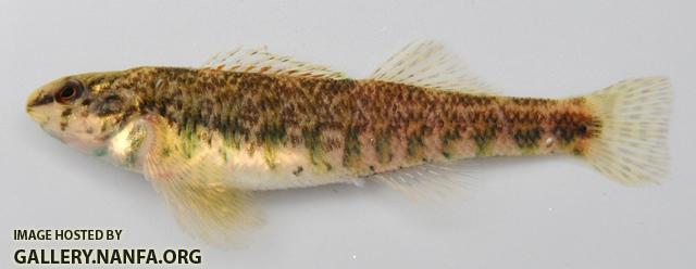 Etheostoma zonale female1 by BZ