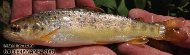 Salmo trutta5 by AK
