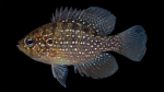 Sunfishes - Centrarchidae