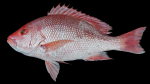 Snappers - Lutjanidae