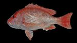 Red Snapper - Lutjanus campechanus