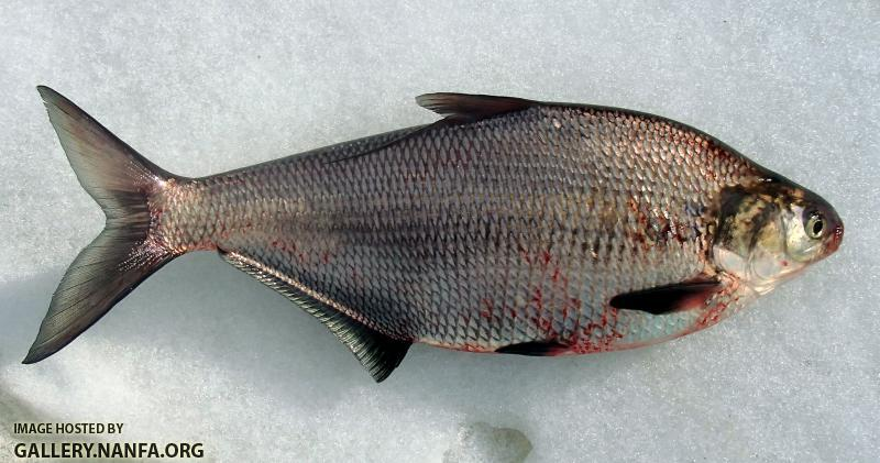 Gizzard Shad