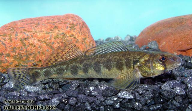 Blackside Darter x Logperch1