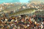 Logperch - Percina caprodes