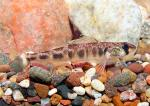 River Darter - Percina shumardi