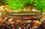 Northern Pearl Dace - Margariscus nachtriebi