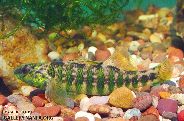 Banded Darter3a