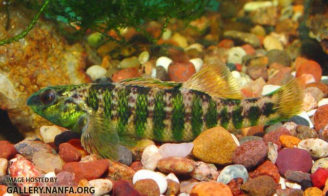 Banded Darter5a