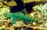 Banded Darter - Etheostoma zonale