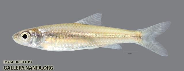 Notropis wickliffi Channel Shiner760 scale