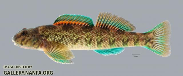 Etheostoma blennioides Greenside Darter 428 ws