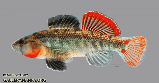 Etheostoma cf spectabile 1883ws
