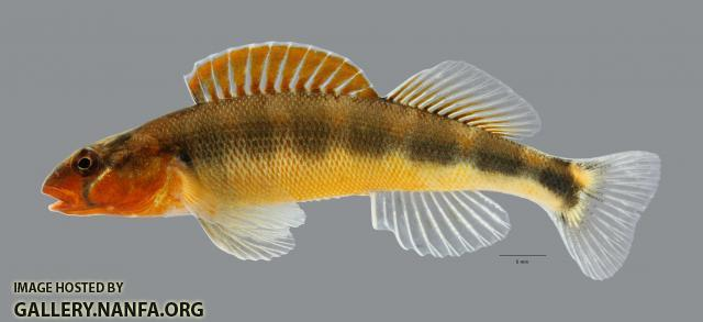 Percina evides Gilt Darter2870ws