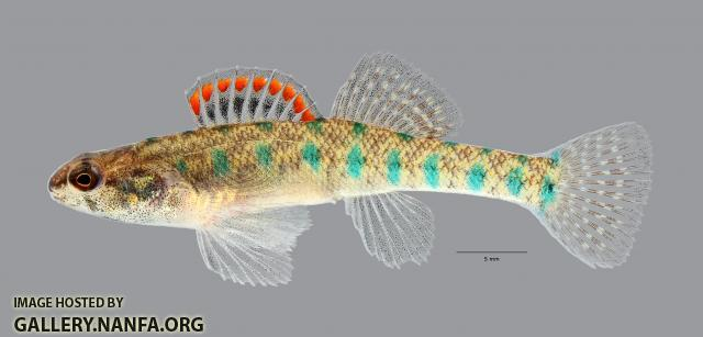 Etheostoma gracile Slough Darter 6961ws