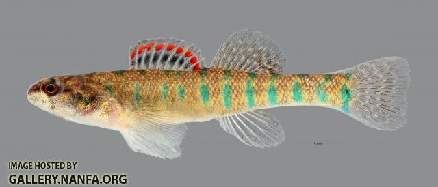 Etheostoma gracile Slough Darter male