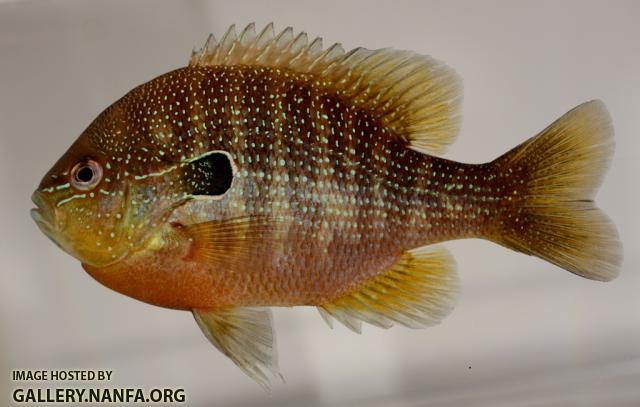 Lepomis megalotis gulf coast form male1 by JZ