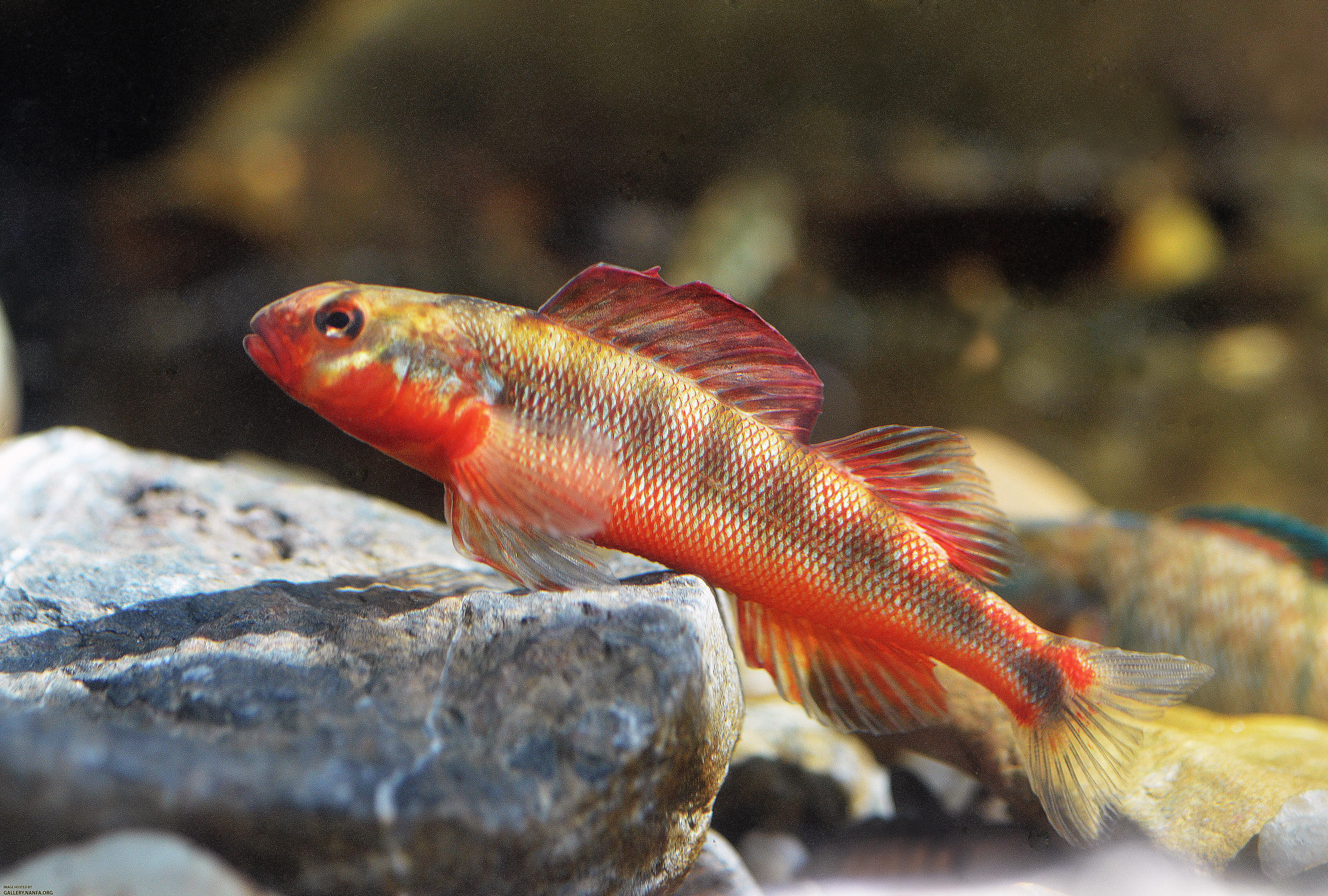 Large nuptial male gilt darter