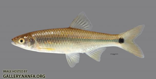 Cyprinella venusta Blacktail Shiner295WS