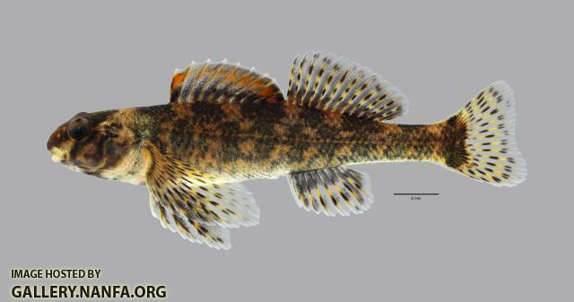Etheostoma histrio Harlequin Darter 540WS
