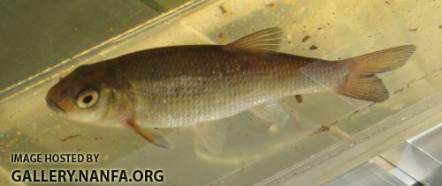 fallfish+2.jpg