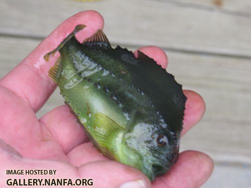 lumpfish+2.jpg