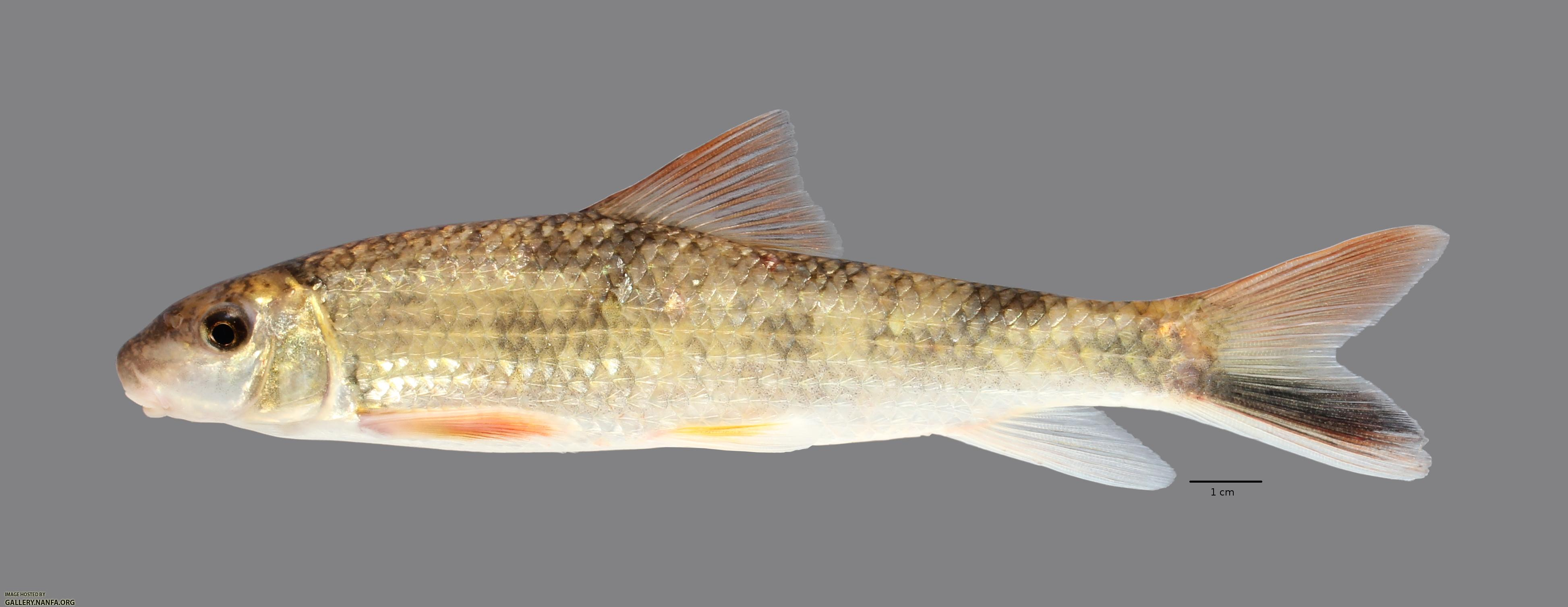 Moxostoma poecilurum Blacktail Redhorse2556ws