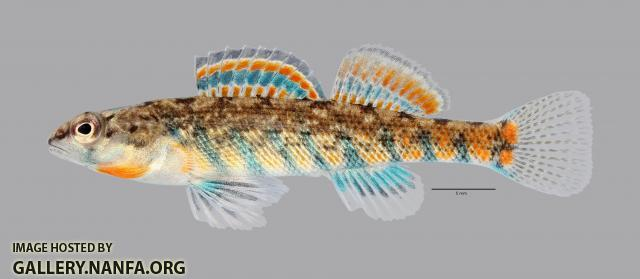 Etheostoma uniporum Current Darter 1102ws