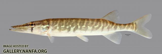 Esox niger Chain Pickerel 1819ws