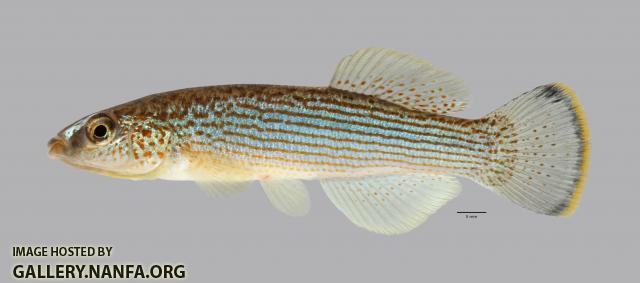Fundulus catenatus Northern Studfish 3845ws