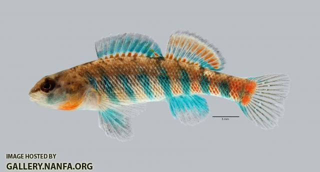 Etheostoma uniporum Current Darter 4104ws