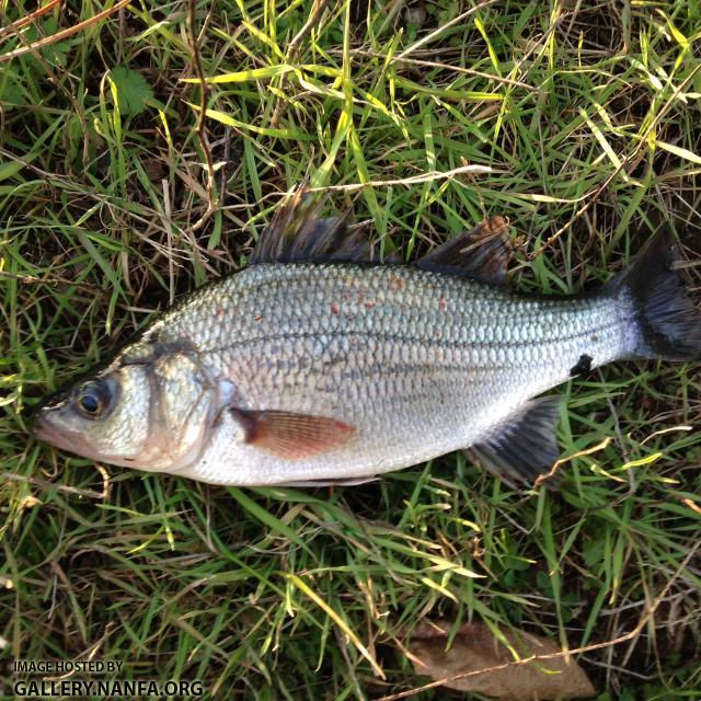 White perch fish