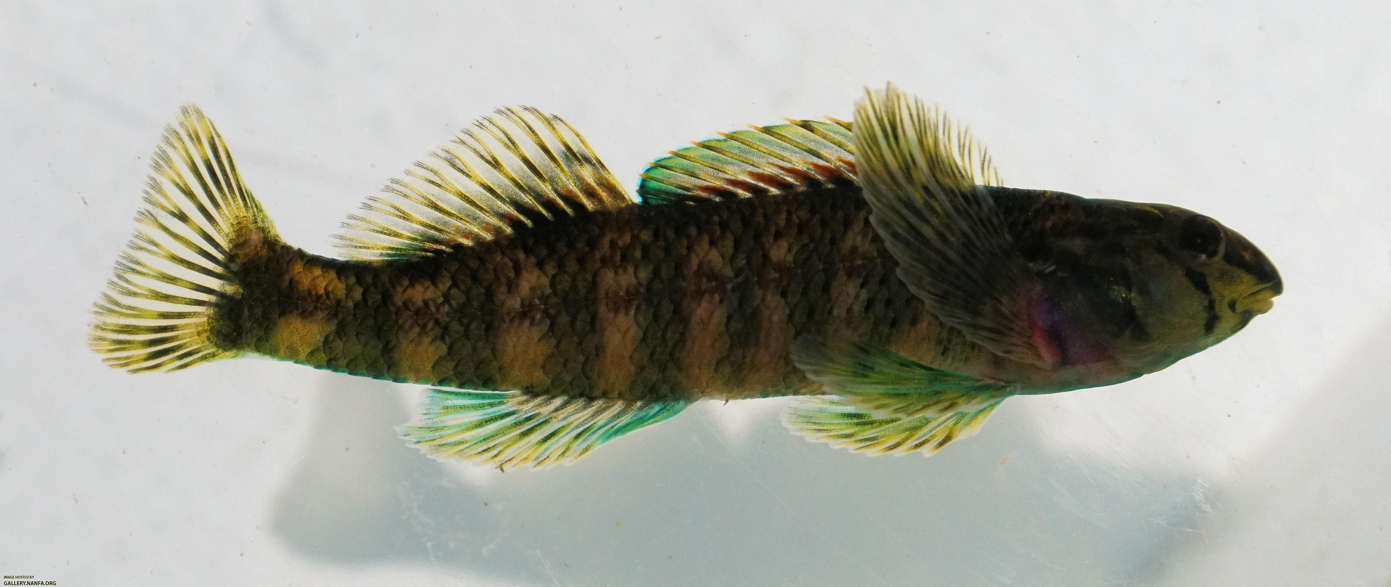 Brighteye Darter