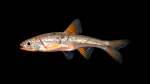 Minnows - Cyprinidae