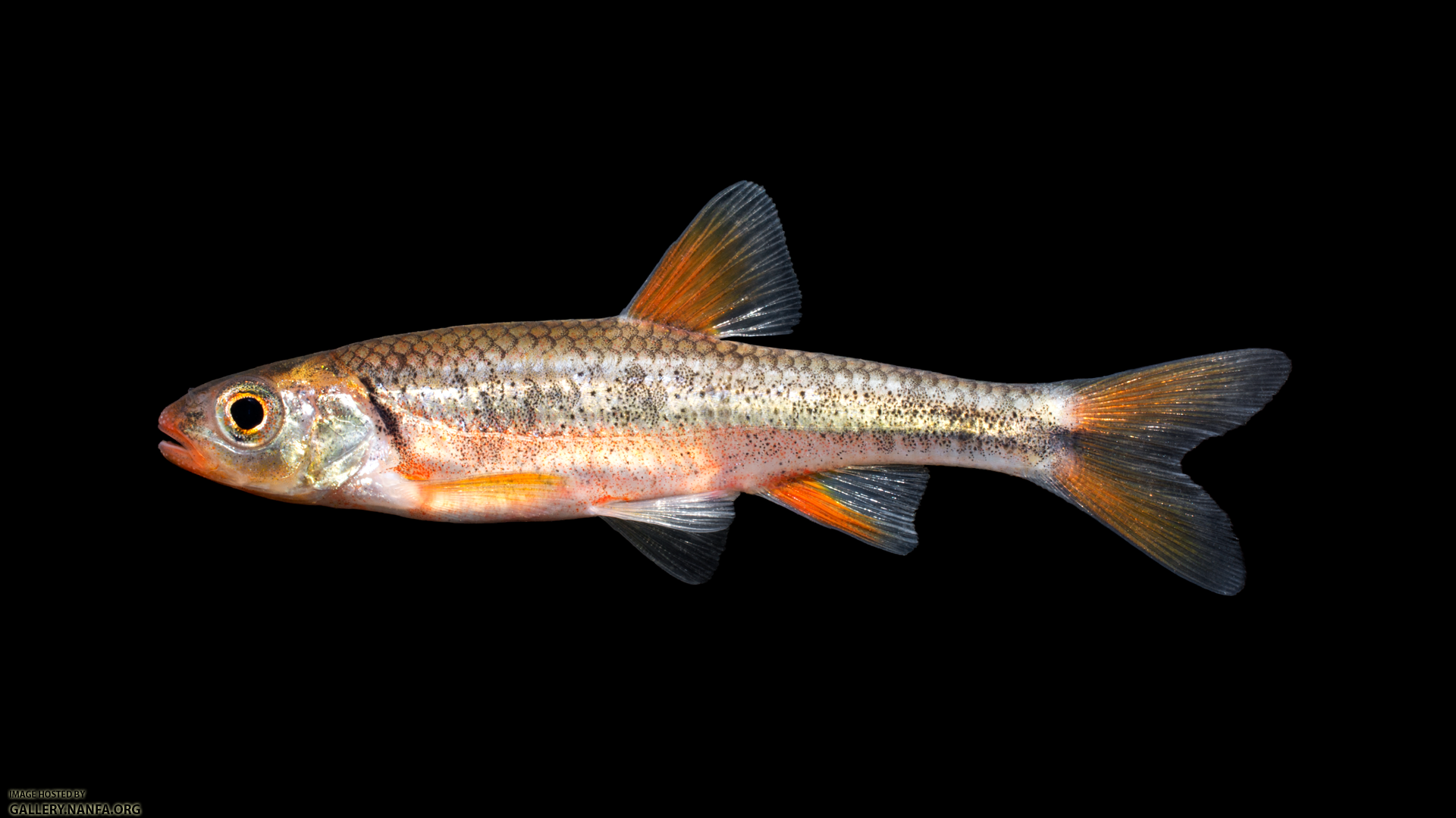 Notropis-chiliticus-04.png
