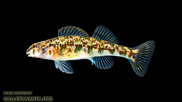 Etheostoma-thalassinum