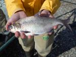 Gizzard Shad - Dorosoma cepedianum