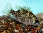 Rock Bass - Ambloplites rupestris
