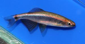 Sailfin Shiner