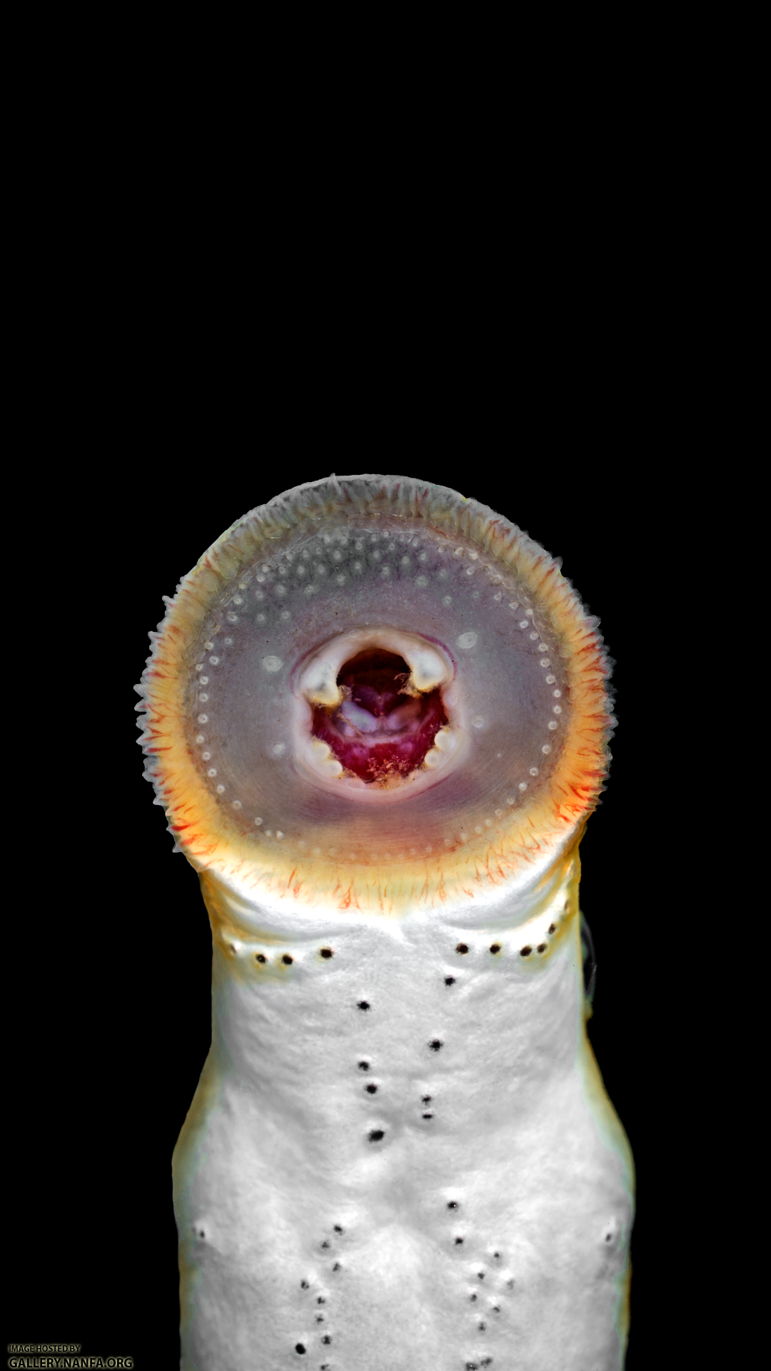 Lampetra-aepyptera-oral-disk.png