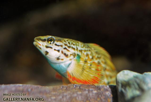 Male redline darter face