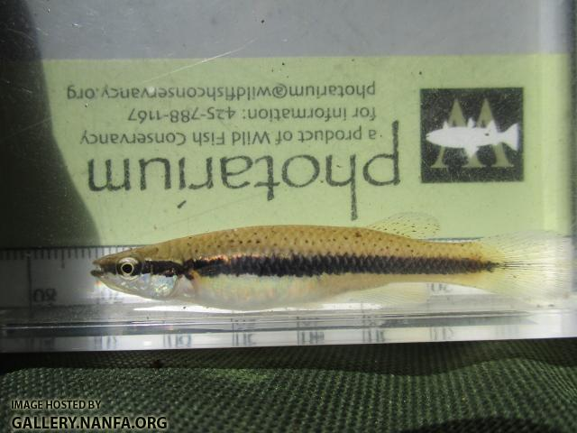 Blackspotted Topminnow