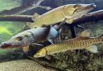 Three Large Muskellunge