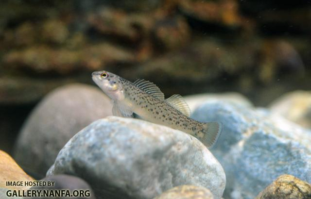 Young Male Bluebreast Darter (Etheostoma camurum)